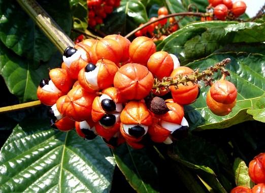 Амазонская гуарана порошок способ применения